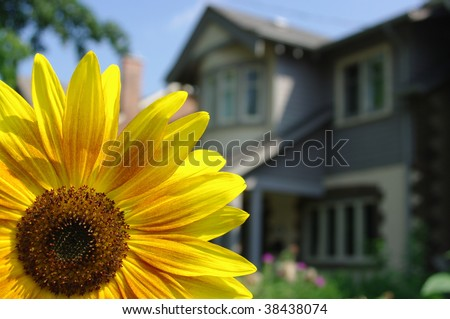 A bright yellow flower with a home in the background - stock photo