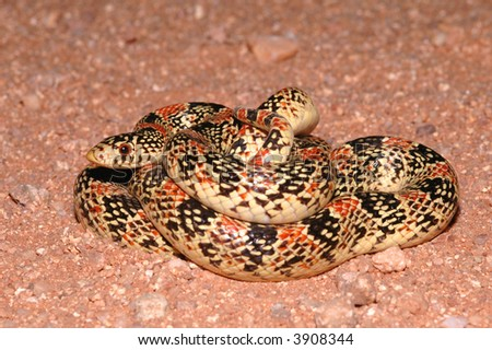 A brightly colored longnose snake coiled up in the sand. - stock photo