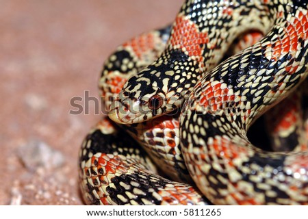 A brightly colored  longnose snake found in western Arizona. - stock photo