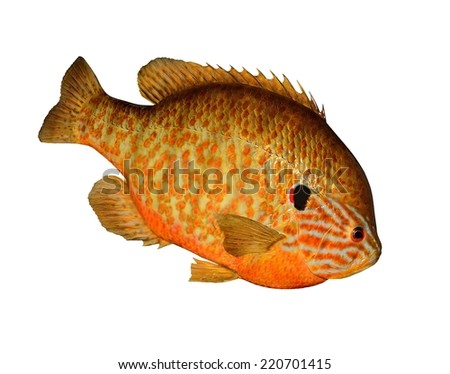 A brightly- colored Pumpkinseed Sunfish (Lepomis gibbosus) isolated on a white background. - stock photo