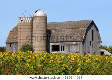 A brilliant crop of sunflowers is backed by an old weathered barn with twin silos along a Wisconsin highway. - stock photo