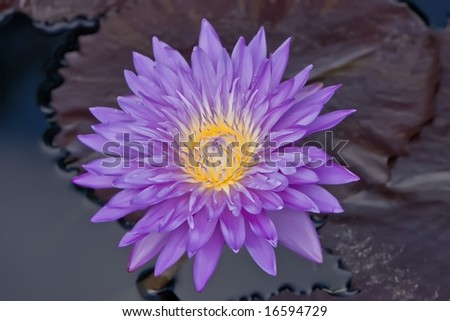 A brilliant purple water lilly in a pond.