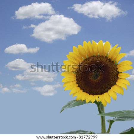 A brilliant yellow sunflower against a blue sky - stock photo