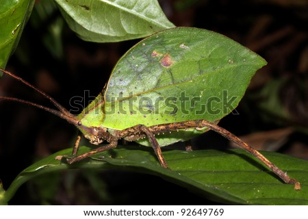 A brilliantly camouflaged Leaf Katydid in the Peruvian Amazon Isolated with plenty of space for text