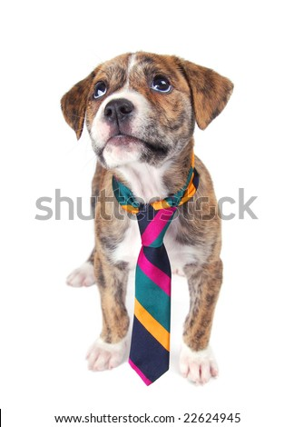 A brindle colored puppy sitting and looking up, wearing a colorful necktie. - stock photo