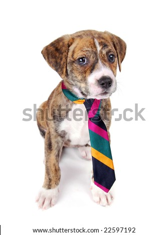 A brindle colored puppy sitting, wearing a colorful necktie. - stock photo