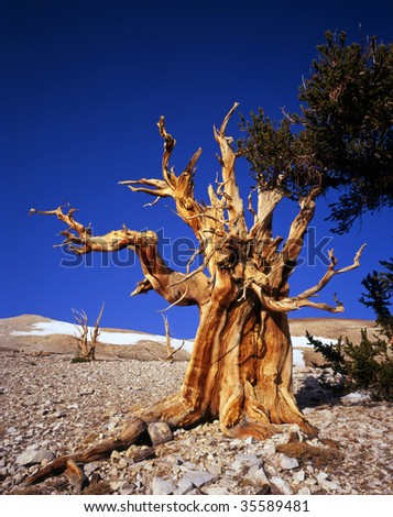 A bristlecone pine tree located in the Patriarch Grove section of the Inyo National Forest, California. - stock photo
