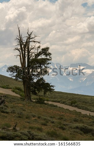 A bristlecone pine tree with snow-covered mountains in the background.  Ancient Bristlecone Pine Forest, CA, USA. - stock photo