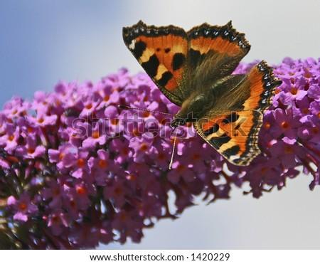 A British Small Tortoiseshell butterfly (latin: Aglais urticae) on a buddleia flower - stock photo