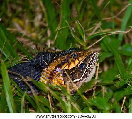 A Broadbanded Water Snake (Nerodia fasciata confluens) eating a Southern Leopard Frog (Rana sphenocephala) for breakfast.  Shot at Brazos Bend State Park, near Houston, Texas. - stock photo