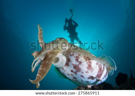 A Broadclub cuttlefish (Sepia latimanus) floats above a coral reef off the island of Sulawesi in Indonesia. Cuttlefish can change both their color and texture to camouflage themselves. - stock photo