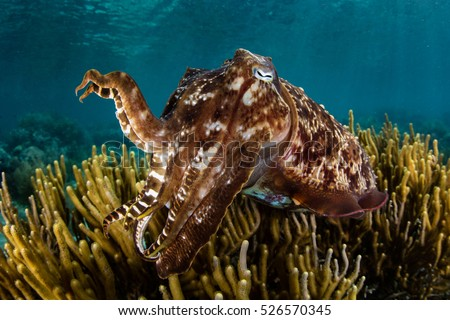 A Broadclub cuttlefish (Sepia latimanus) hovers above a shallow reef in Komodo National Park, Indonesia. This cephalopod species is a master of color change.