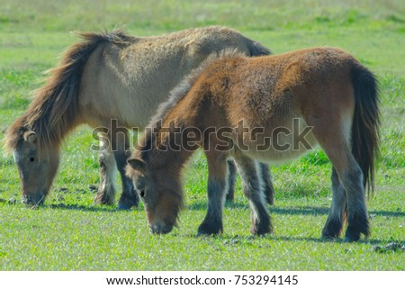 A brown and a tan Miniature Pony graze in the meadow