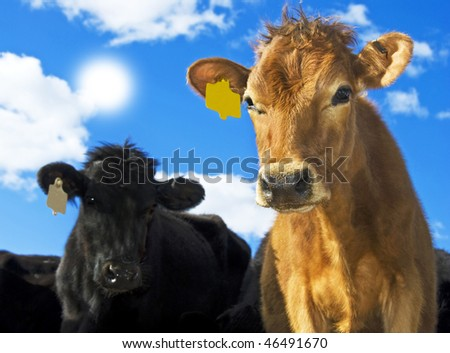 a Brown and black cow with sun and sky in the background - stock photo