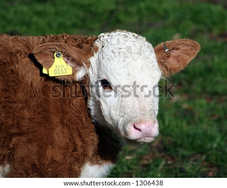 A brown and white calf with yellow ID tag - stock photo