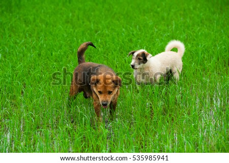 A brown and white dog standing still in a harvested ricefield,Asia