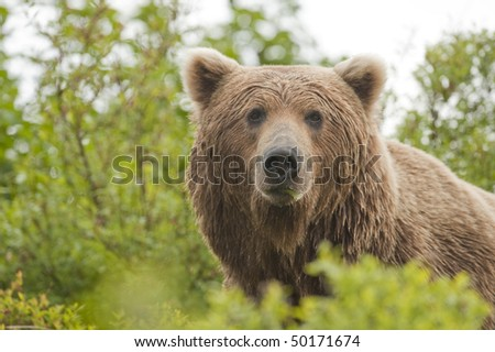A brown bear appears out of the alders and stops to take in the sight of people. - stock photo