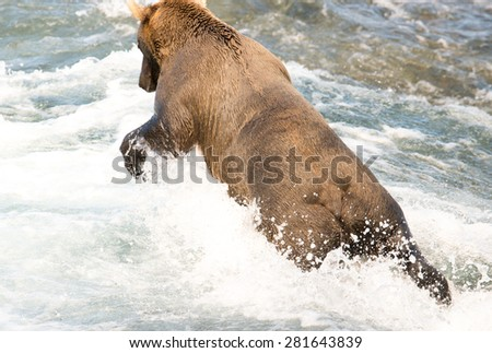 A brown bear dives in a river after spotting a salmon - stock photo