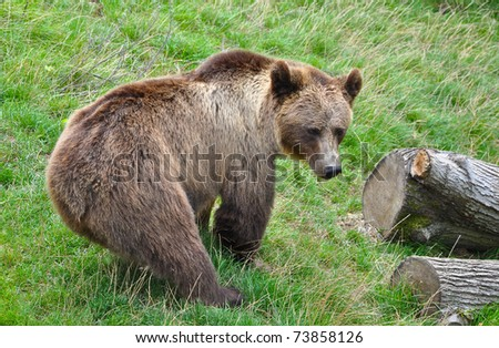 A brown bear in a zoo - stock photo