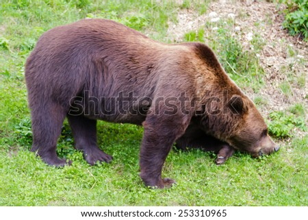 A brown bear in a zoo, Bern, Switzerland. Brown bears are symbol of the city