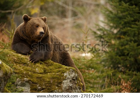 A brown bear in the forest. Big Brown Bear. Bear sits on a rock. Ursus arctos. - stock photo
