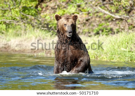 A brown bear stands on his hind feet and looks for salmon. - stock photo