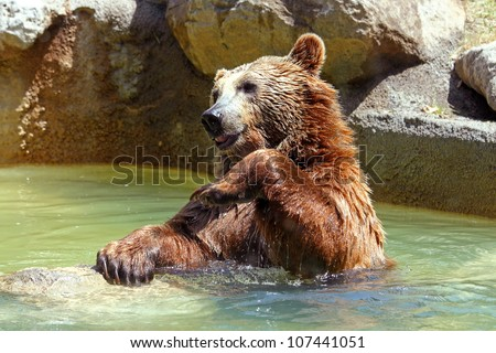 A brown bear (Ursus arctos) in a funny position - stock photo