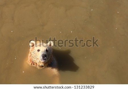 A brown bear (Ursus arctos) in troubled waters - stock photo