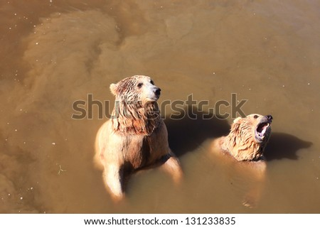 A brown bears (Ursus arctos) in troubled waters - stock photo