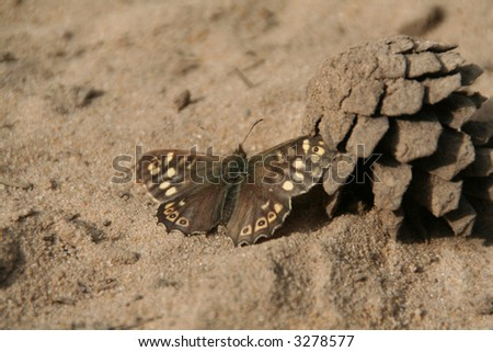 A brown butterfly on sand next to a fircone