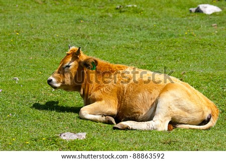 A brown calf lying in a field with hills in Asturias, Spain - stock photo