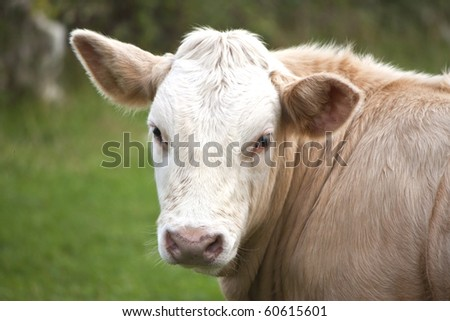 a brown cow looking back at you - stock photo