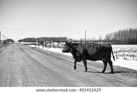 A brown cow loose on a gravel road in black and white spring countryside landscape - stock photo
