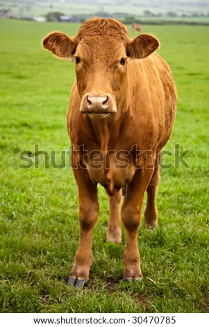 A brown cow standing in a green field and looking at the camera - stock photo
