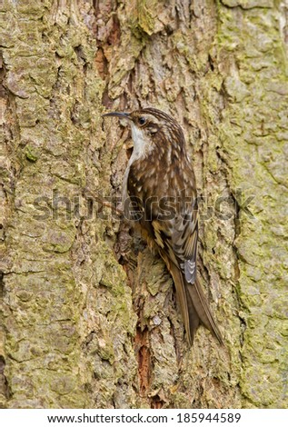 A brown creeper pauses briefly as it searches the tree bark for insects.