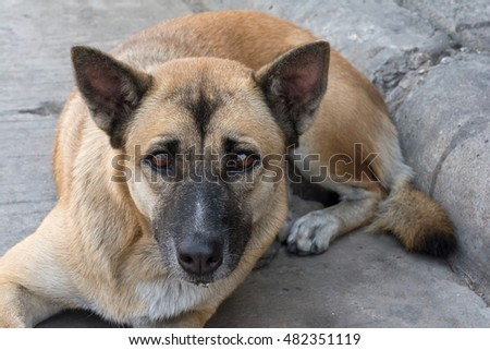 A brown dog in sad looking.