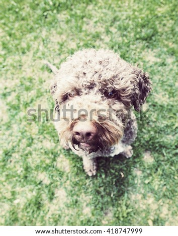 A brown dog is sitting on the green grass and is looking up. The dog breed is lagotto romagnolo. Image has a vintage effect applied. - stock photo