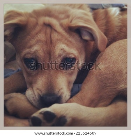 A brown dog with floppy ears curled up and staring straight ahead. - stock photo