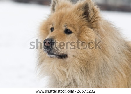a brown eurasier dog looking worried at something distant in a snowy background - stock photo