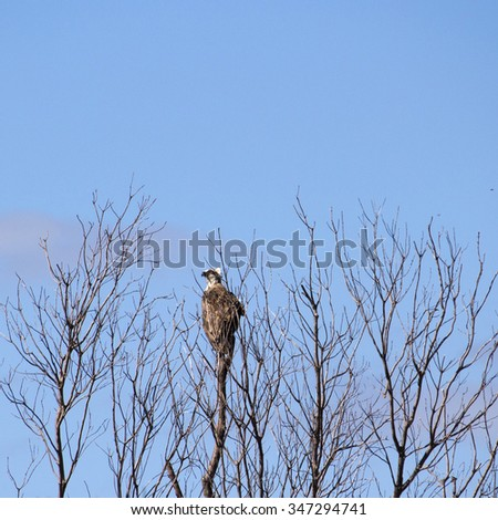 A Brown Goshawk ,Australian Goshawk, Chicken-hawk, Grey-headed Goshawk, Western Goshawk, Collared Goshawk  a medium-sized raptor (bird of prey)  perching in a dry  tree in autumn is looking for prey. - stock photo