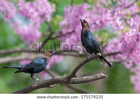 a brown-headed cowbird stretches in a pink redbud tree while another bird looks on. - stock photo