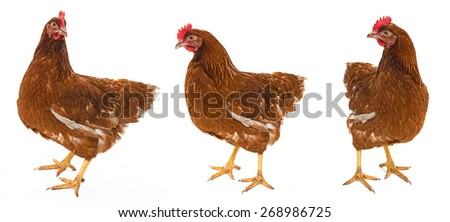 a brown hen isolated on a white background - stock photo