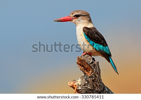A brown-hooded kingfisher (Halcyon albiventris), Kruger National Park, South Africa