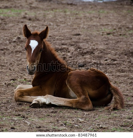 A brown horse foal with white facial marking sitting on the ground - stock photo