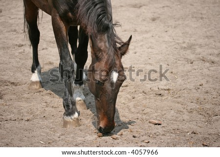 A Brown horse in a paddock, looking for something to eat