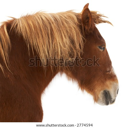 A brown horse on a white background. - stock photo