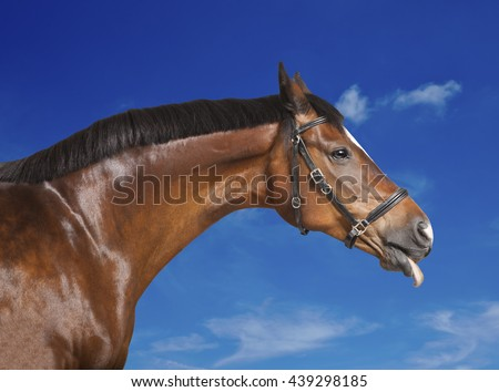 a brown horse sticks his tongue out of the mouth - stock photo