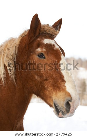 A brown horse with a snowy winter background. - stock photo