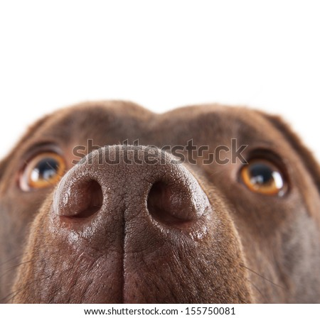A brown labrador nose close-up against a white background - stock photo