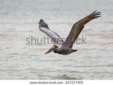 A brown pelican flies low over the Gulf of Mexico near Florida's Sanibel Island. - stock photo